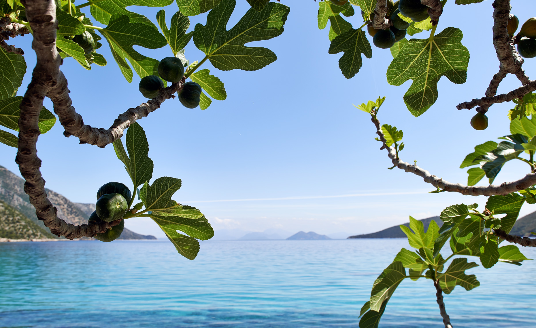 Fig Tree on Beach Greece