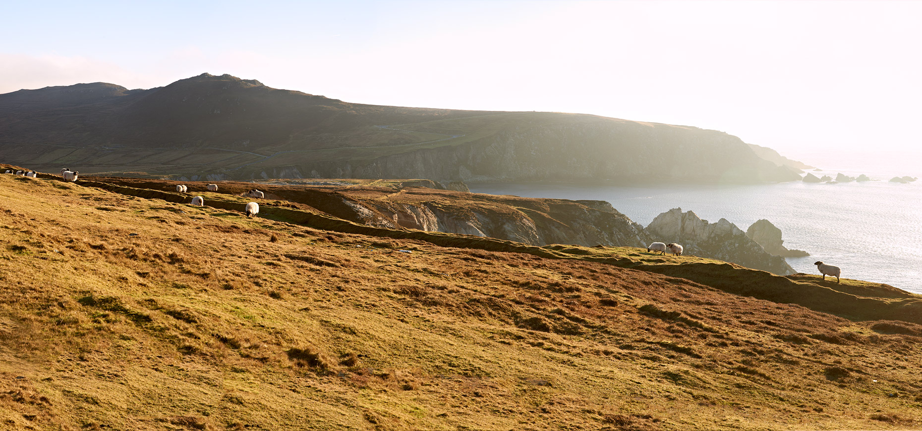 Achill Sheep, Ireland